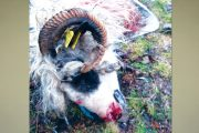 Ursul a omorât 14 oi la Nucşoara!