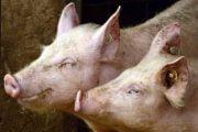 15 porci confiscaţi  de DSV Argeş