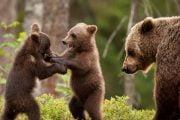 Urşii au ieşit din hibernare, au plecat după mâncare...