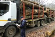 Mii de metri cubi de lemn tăiați ilegal!