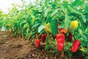Legumicultorii vor primi 5000 euro la hectar