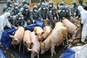Nu mai sunt focare de pestă la porcii domestici!