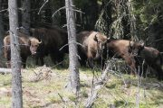 Zimbri eliberați în Munții Făgăraș!