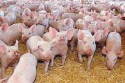 16,7 milioane euro pentru combaterea pestei porcine!