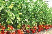 40 de milioane de euro pentru Programul Tomata
