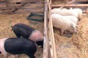 Crescătorii de porci Bazna și Mangalița vor primi bani