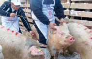 Pesta porcină africană a dispărut de la porcii domestici!