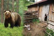 Ursul a omorât opt oi