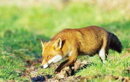 2100 de momeli vaccinale antrabice pentru vulpi