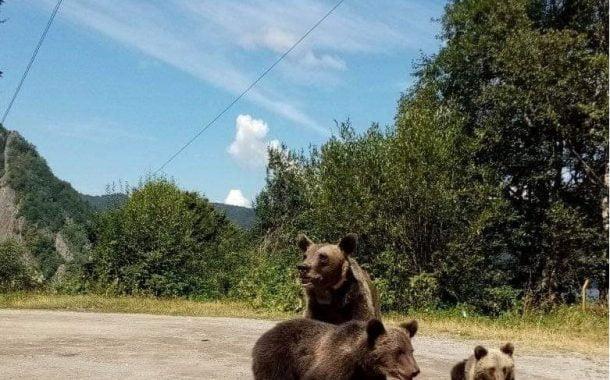 Amendați că au hrănit urșii pe Transfăgrășan!
