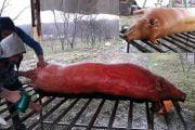 Gospodarii nu renunță la tradiția tăierii porcului!