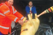 Un kilogram de carne de porc în viu costă 12 lei
