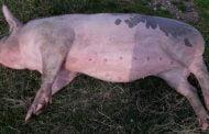 Focare noi de pestă porcină, la Bascov şi Cocu