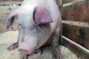 Cazuri noi de pestă porcină