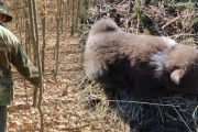 Pui de urs abandonat, ajutat de un pădurar!