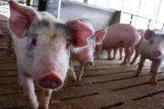 7 focare şi 18 fonduri de vânătoare afectate de pesta porcină