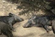 24 de cazuri de pestă la porcii domestici şi mistreţi