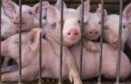 A vrut să vândă porci cu pestă, în Argeș!