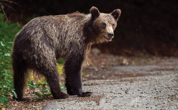 Urs la Câmpulung!