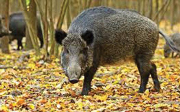 Caz nou de pestă la porcii mistreți