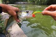 Pescuitul şalăului de pe mal