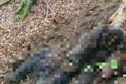 Braconierii au omorât un urs!