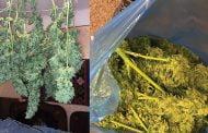 Bucureșteni plantatori de cannabis, la Lerești!