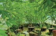 Plantaţie de cannabis, la Oarja!