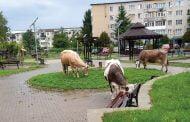 Loc de joacă, transformat în pășune pentru vite