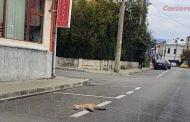 Vulpe moartă pe stradă!